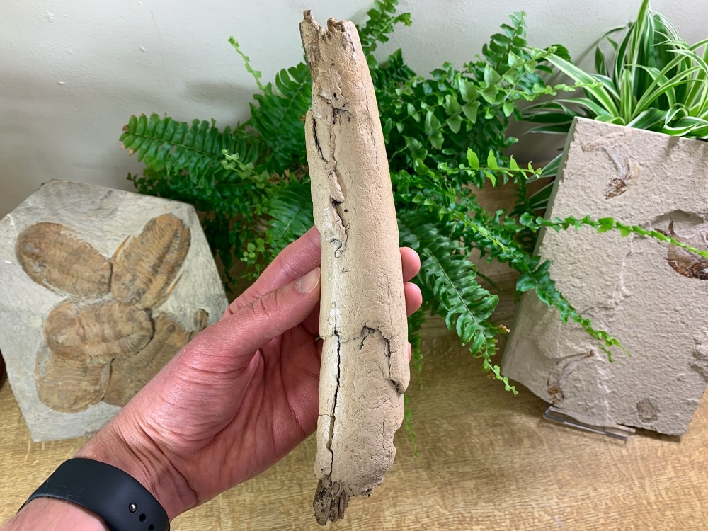 Woolly Mammoth Tusk (9.5 inches) #12