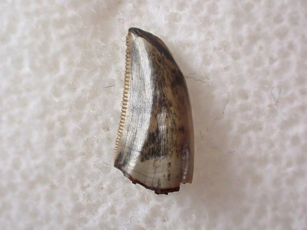 Saurornitholestes Dromaeosaur Tooth (Judith River Fm.) #07