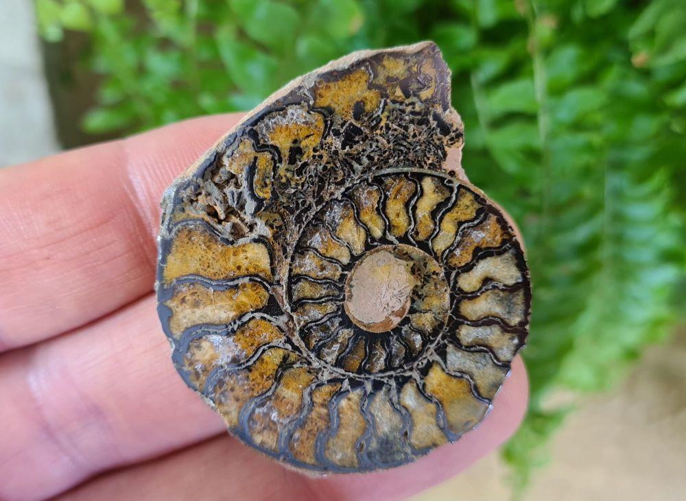 Cut & Polished Haematite Ammonite (half) #20