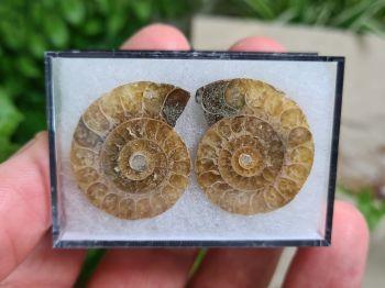 Cut & Polished Ammonite (pair) #01