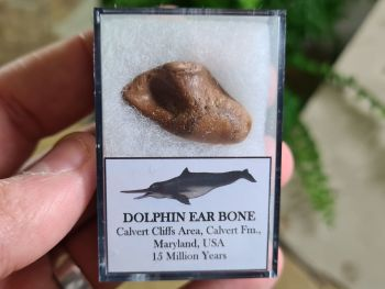 Dolphin Ear Bone #02