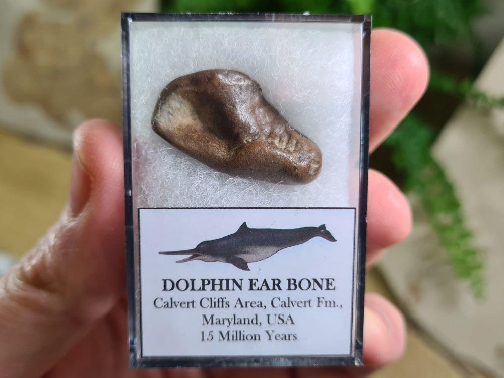 Dolphin Ear Bone #06