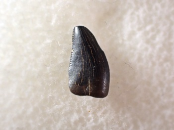 Theropod Tooth (Hell Creek Fm.) #01