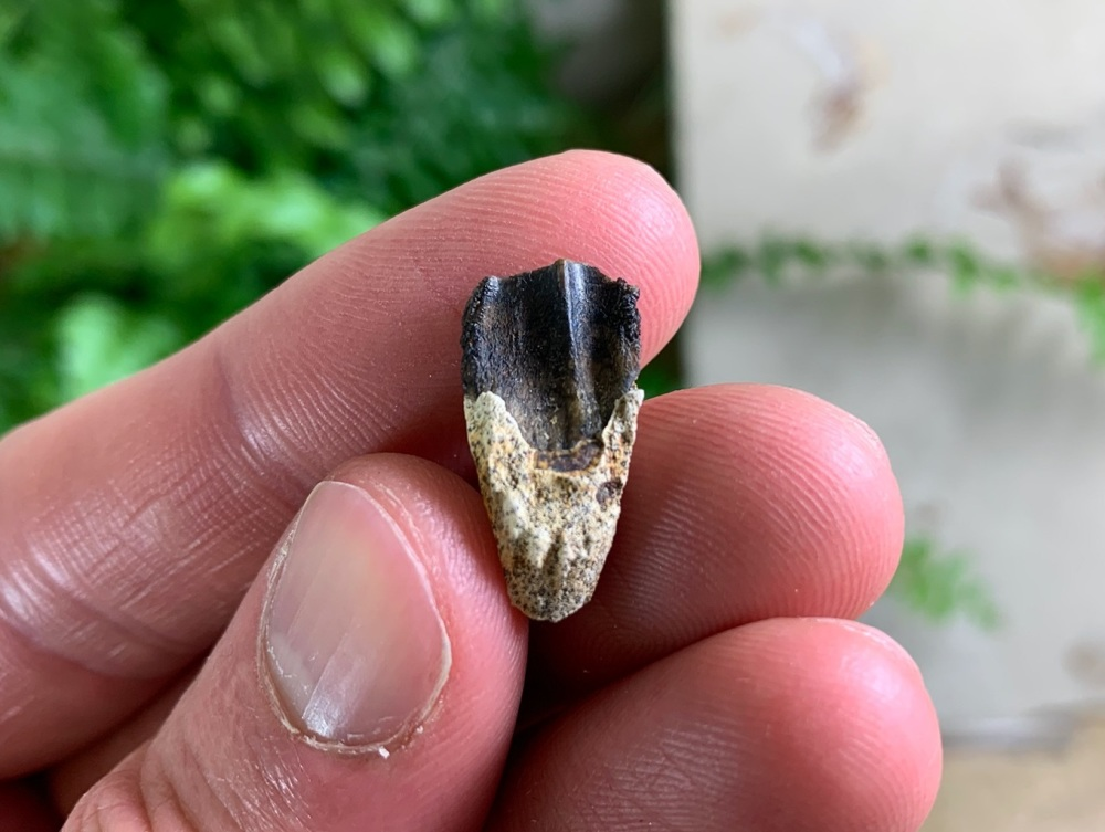 Triceratops Tooth #01