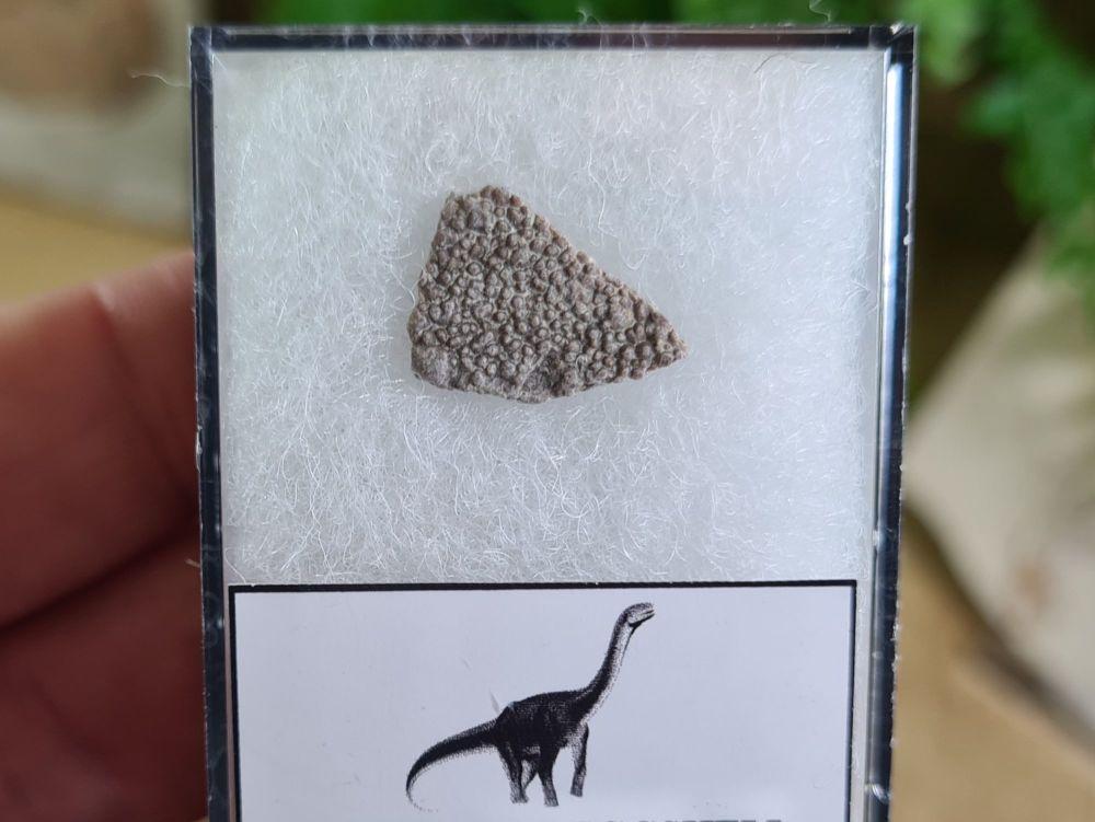 Titanosaur Sauropod Eggshell, France #01