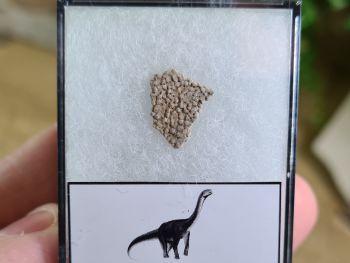 Titanosaur Sauropod Eggshell, France #10