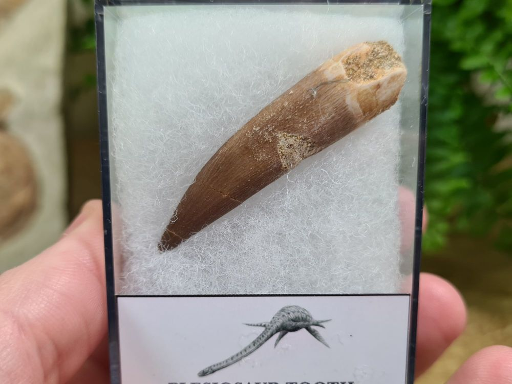 Plesiosaur Tooth (2.08 inch) #01