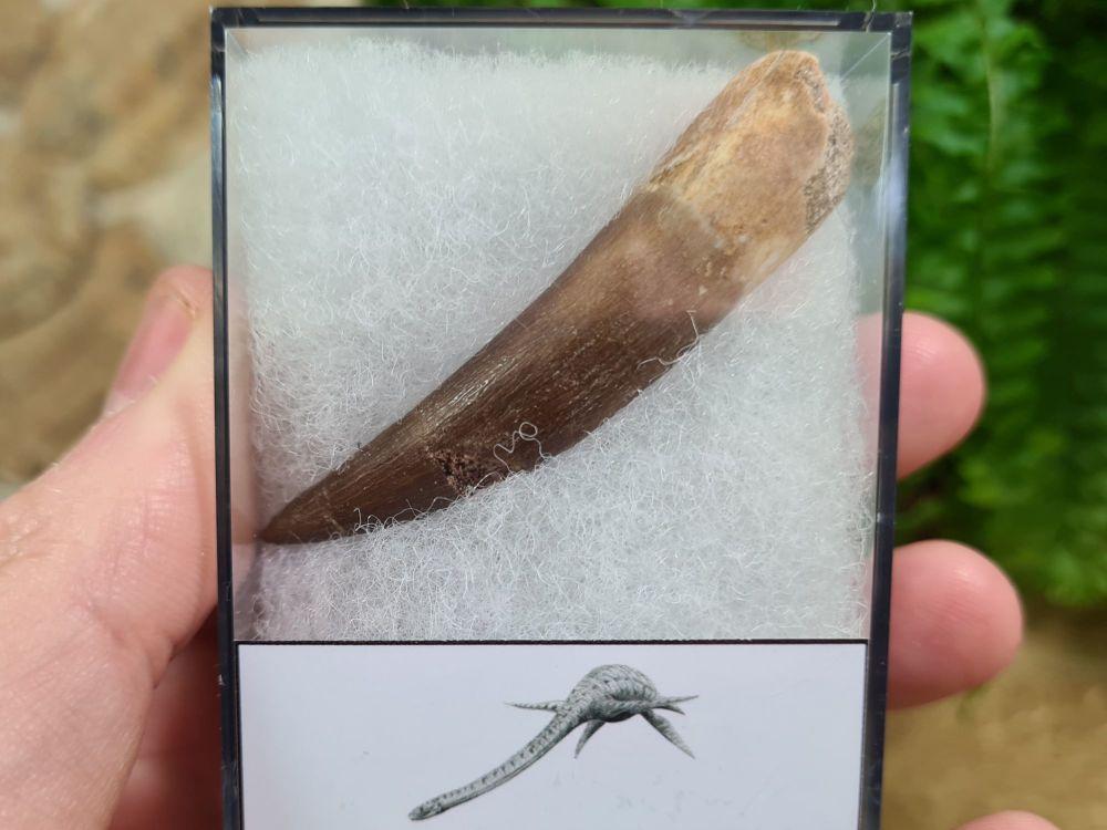 Plesiosaur Tooth (2.36 inch) #02