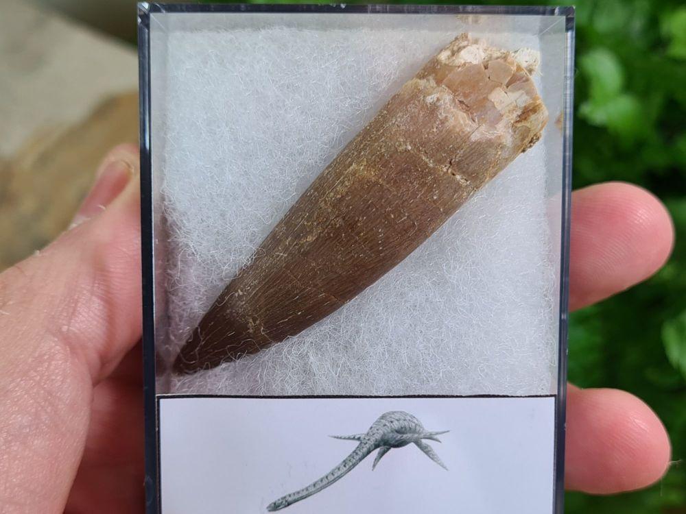 Plesiosaur Tooth (2.36 inch) #06