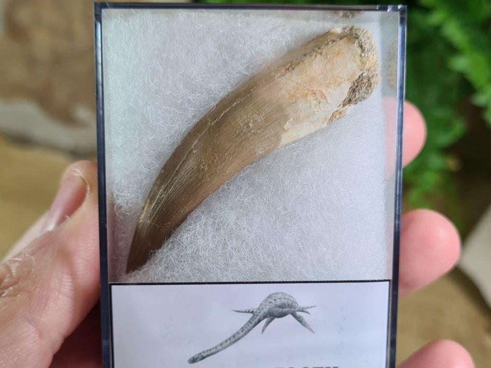 Plesiosaur Tooth (2.36 inch) #08