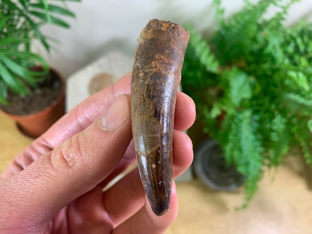 Spinosaurus Tooth - 2.63 inch #SP50