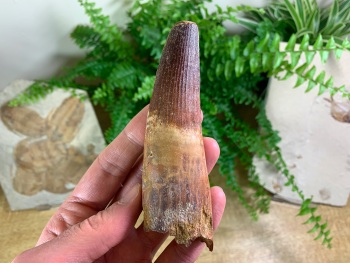 HUGE Spinosaurus Tooth - 4.63 inch #SP57