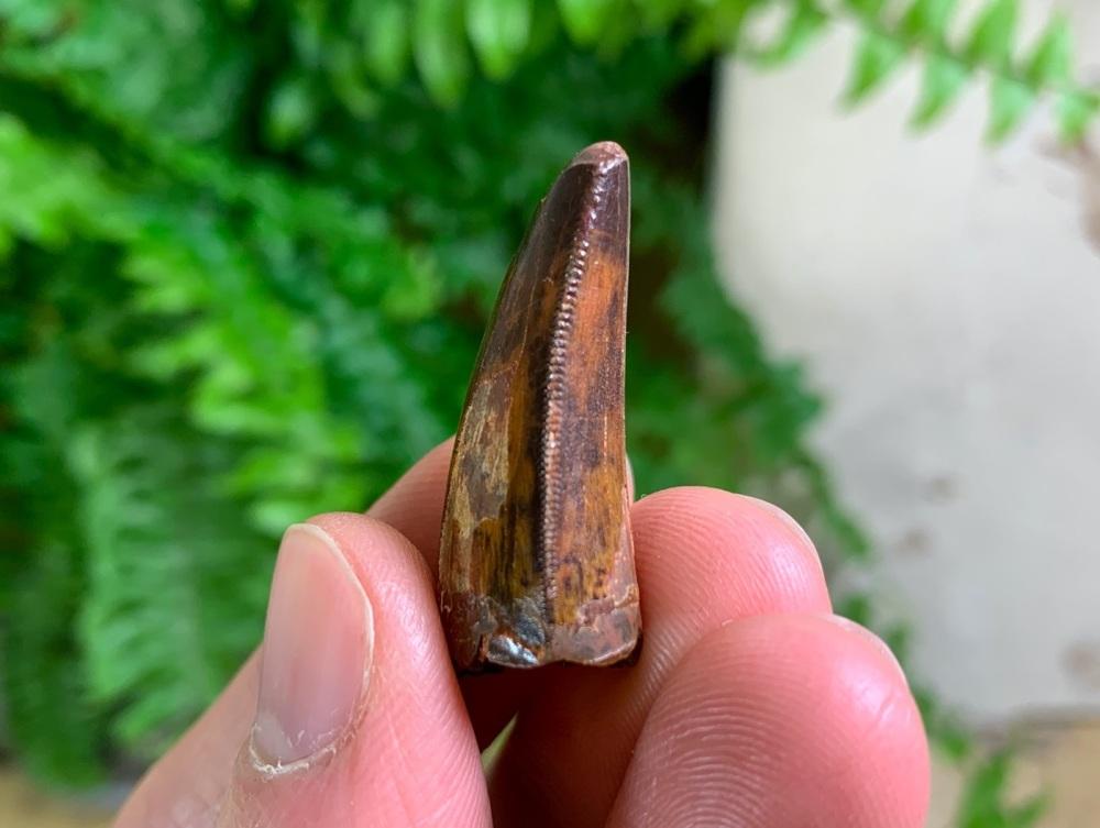 Carcharodontosaurus Tooth - 1.13 inch #CT59