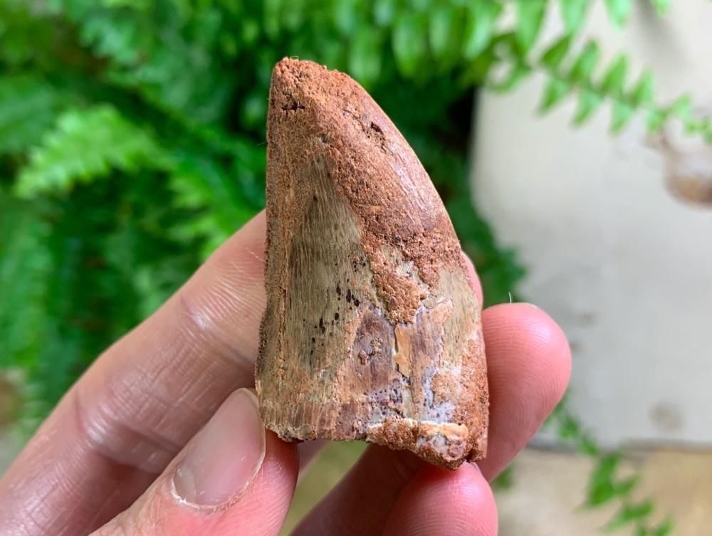Carcharodontosaurus Tooth - 1.69 inch #CT60