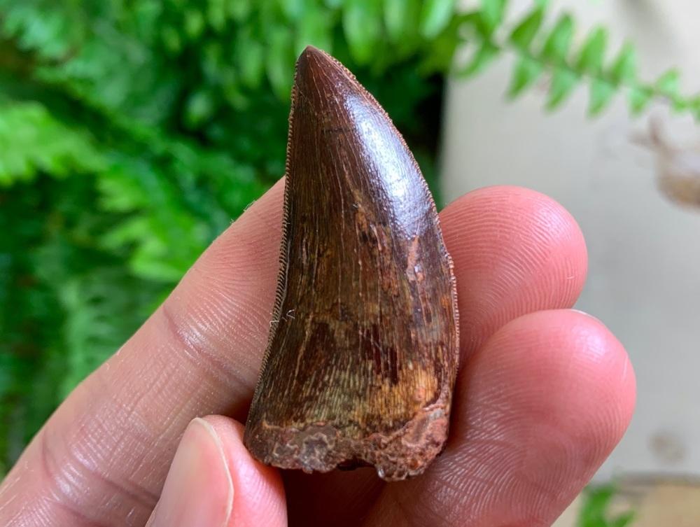 Carcharodontosaurus Tooth - 1.56 inch #CT63