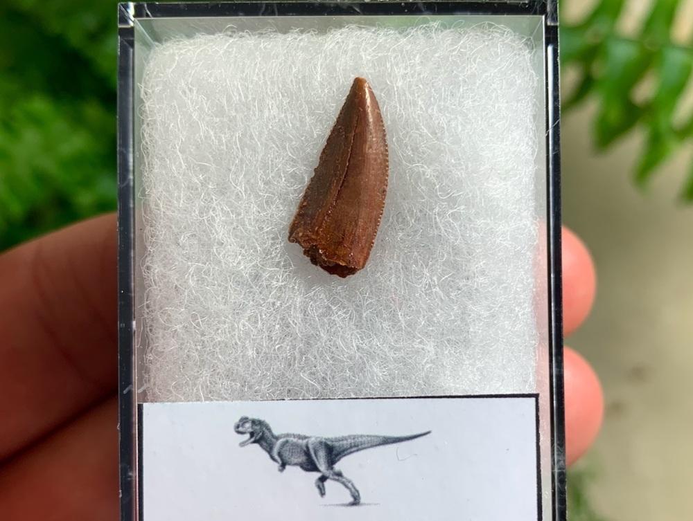 Abelisaur Dinosaur Tooth #AB04