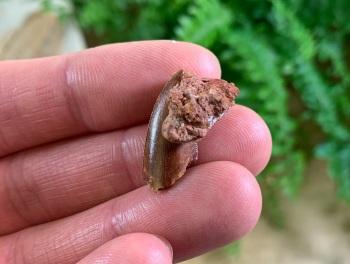 Abelisaur Dinosaur Tooth with Matrix Attached #AB12