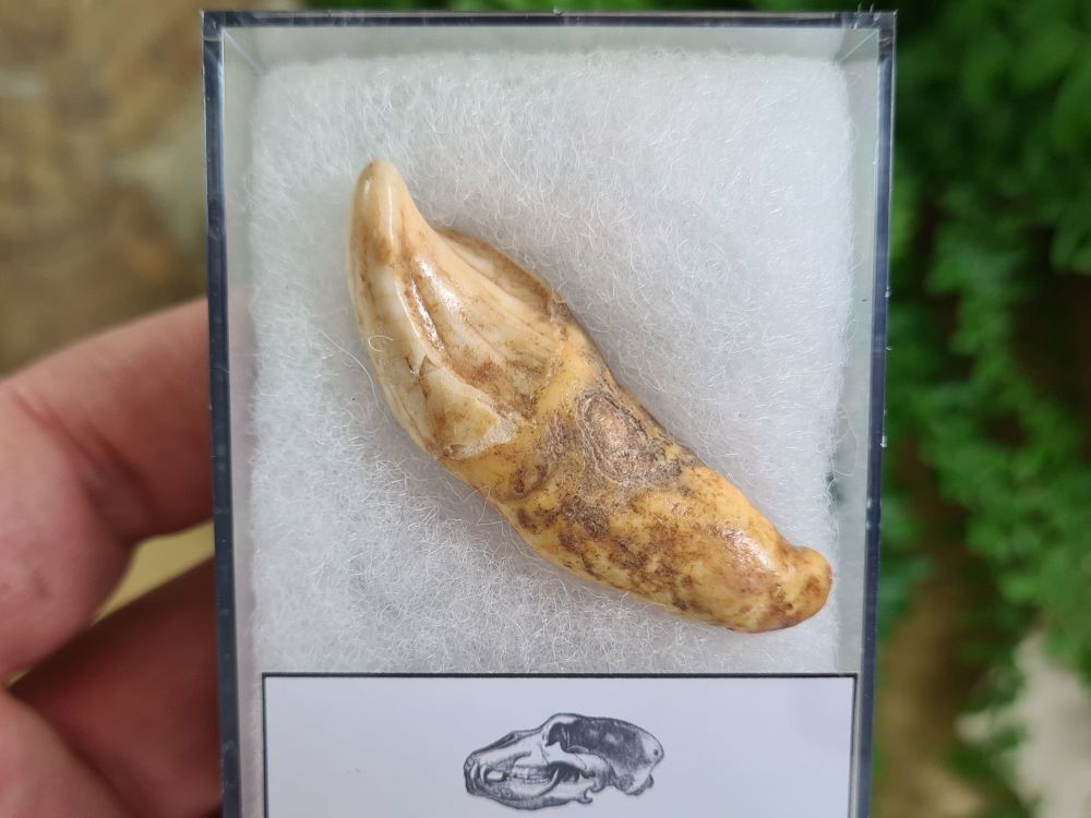 Ursus spelaeus Cave Bear Tooth (incisor) #15