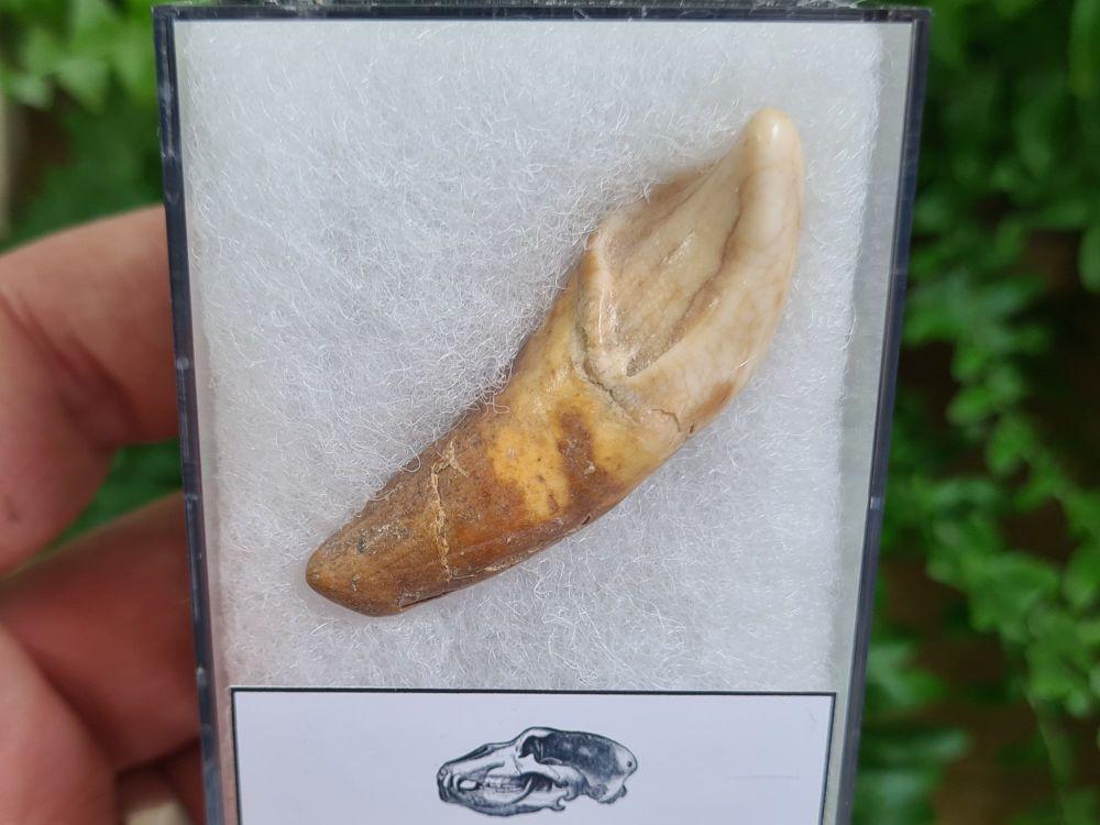 Ursus spelaeus Cave Bear Tooth (incisor) #16