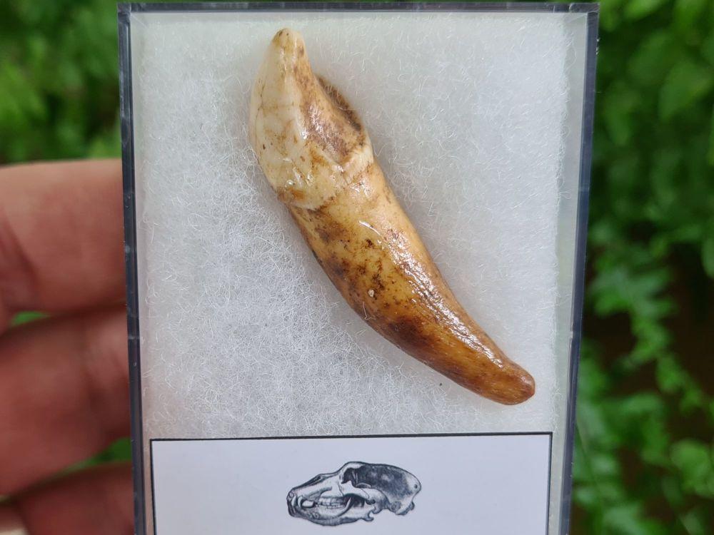 Ursus spelaeus Cave Bear Tooth (incisor) #17