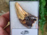Ursus spelaeus Cave Bear Canine (2.36 inch) #20