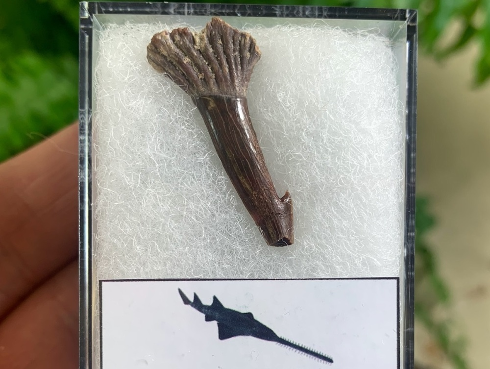 Onchopristis Fish Tooth (Kem Kem, Morocco) #01