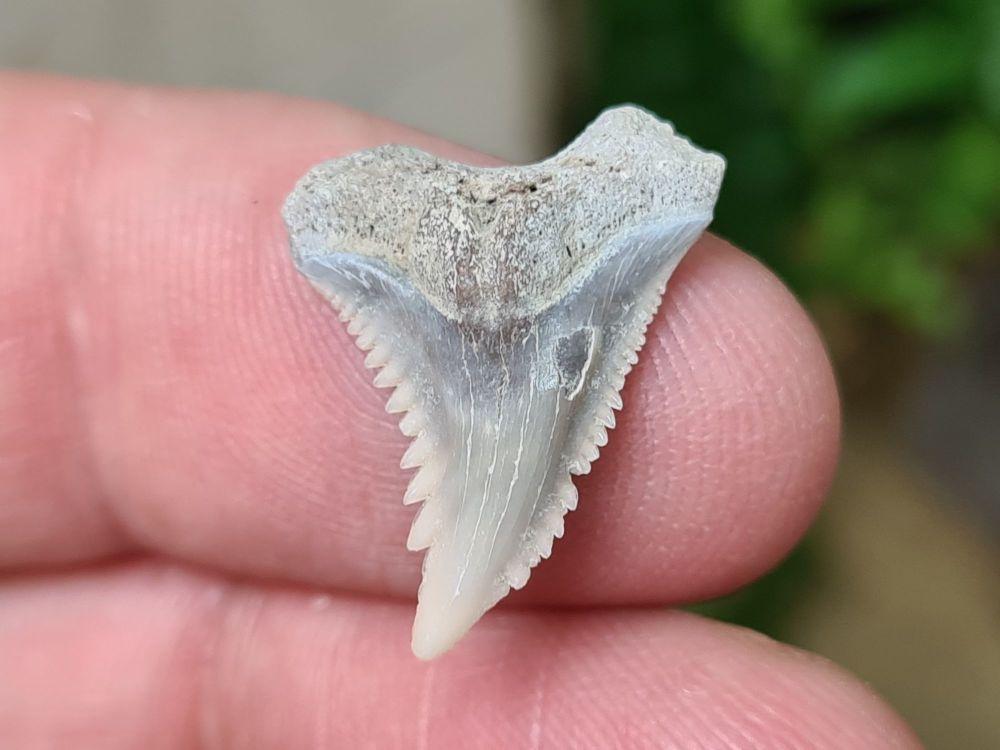Hemipristis serra Shark Tooth, North Carolina #16