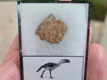 Gastornis (Giant Bird) Eggshell #12