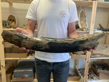 Large Woolly Mammoth Tusk (1.77ft)