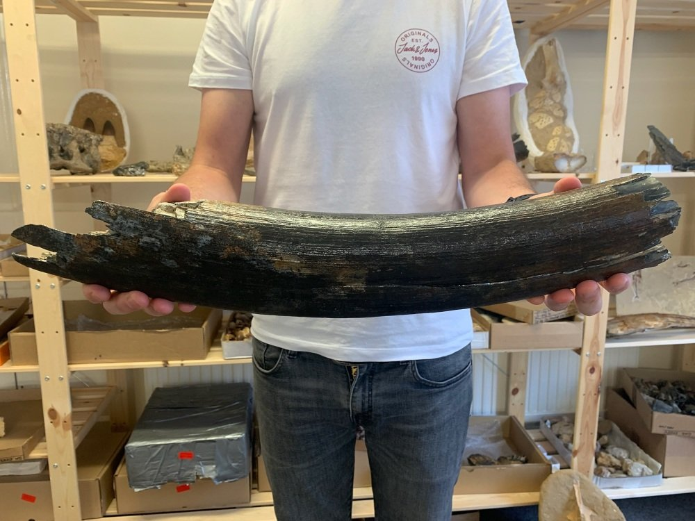 Large Woolly Mammoth Tusk (1.74ft)