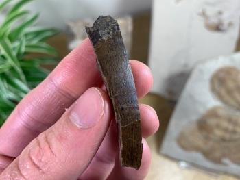 Tyrannosaurus rex Tooth Chunk (2.13 inch) #11