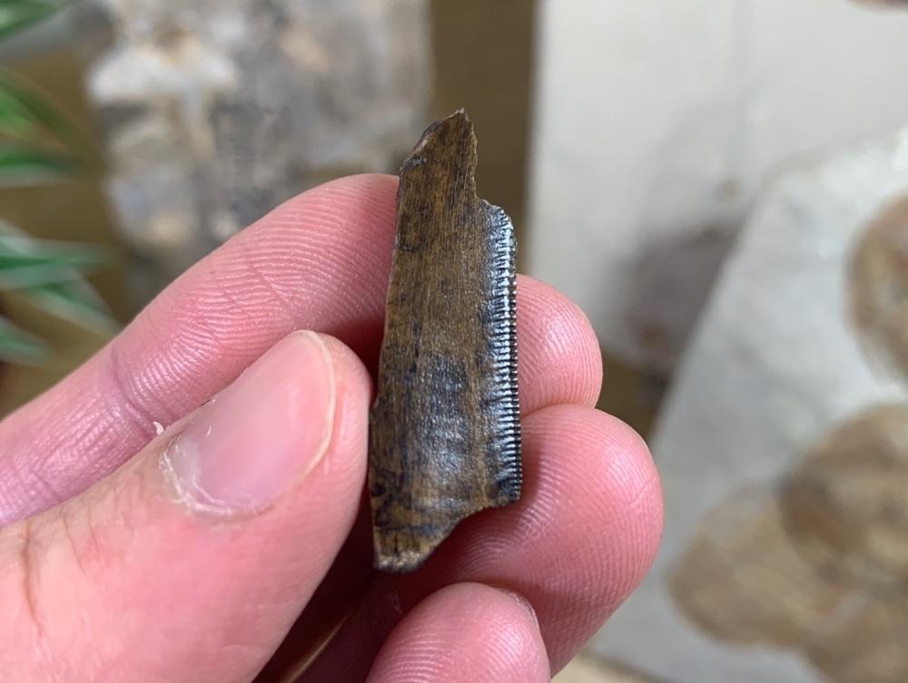 Tyrannosaurus rex Tooth Chunk (1.31 inch) #06