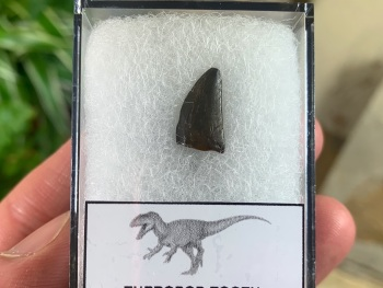 Theropod Tooth, France #01