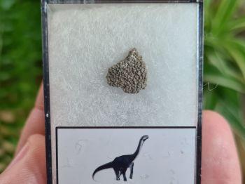 Titanosaur Sauropod Eggshell, France #06
