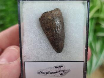 Alligator Tooth, Florida #06