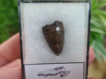 Alligator Tooth, Florida #09