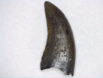 RARE Dromaeosaurus albertensis Tooth (Judith River Fm.)