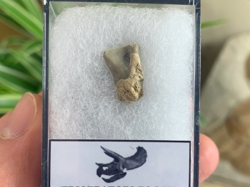Triceratops Tooth #02
