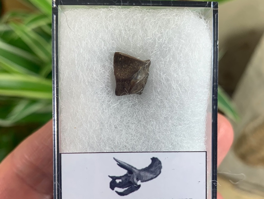 Triceratops Tooth #04
