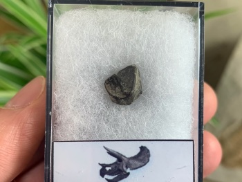 Triceratops Tooth #05