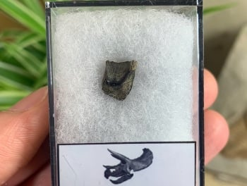 Triceratops Tooth #06