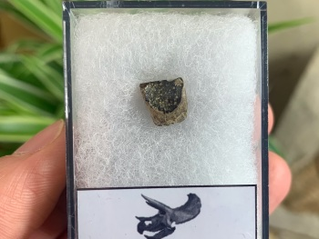 Triceratops Tooth #07