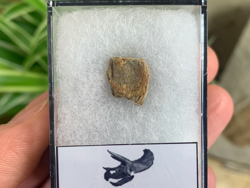 Triceratops Tooth #08