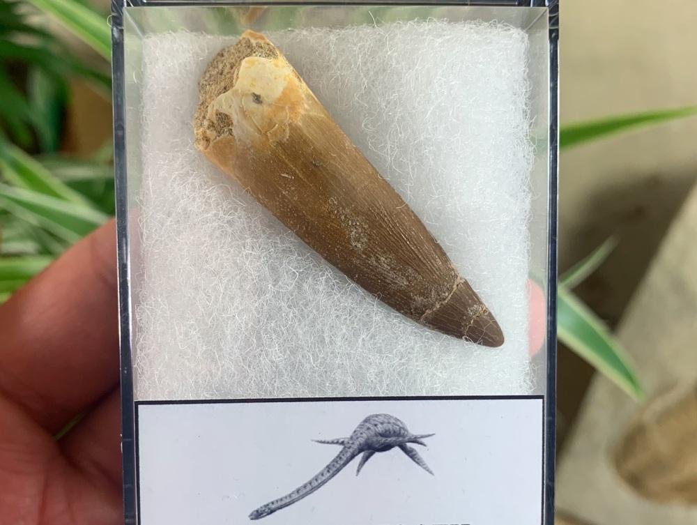 Plesiosaur Tooth (2 inch) #01