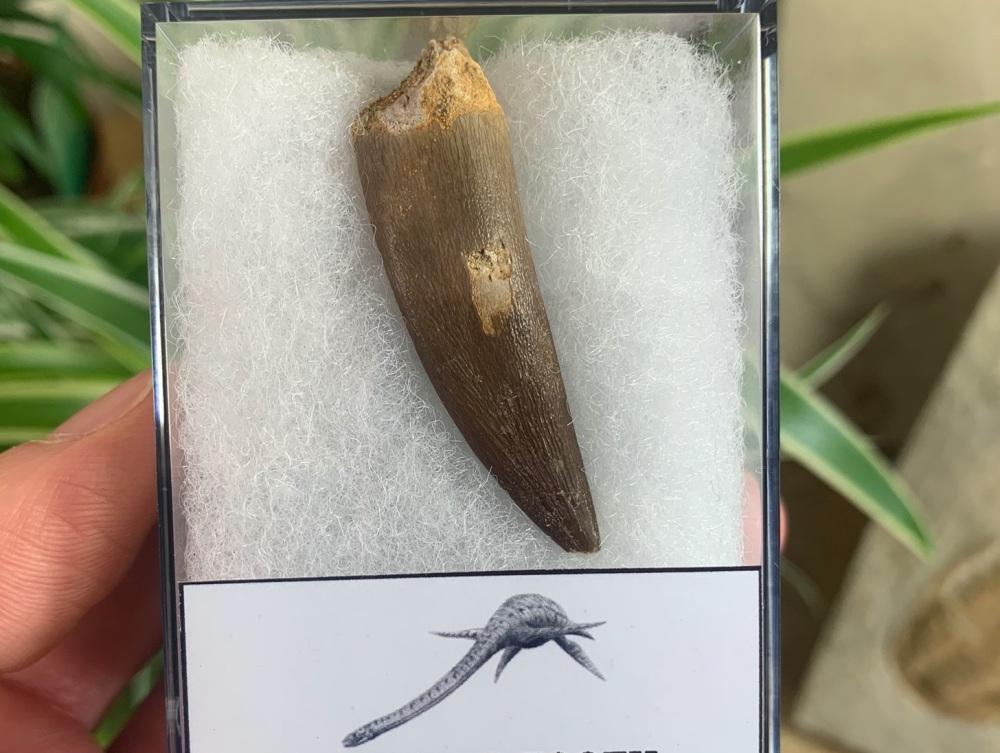 Plesiosaur Tooth (1.75 inch) #02