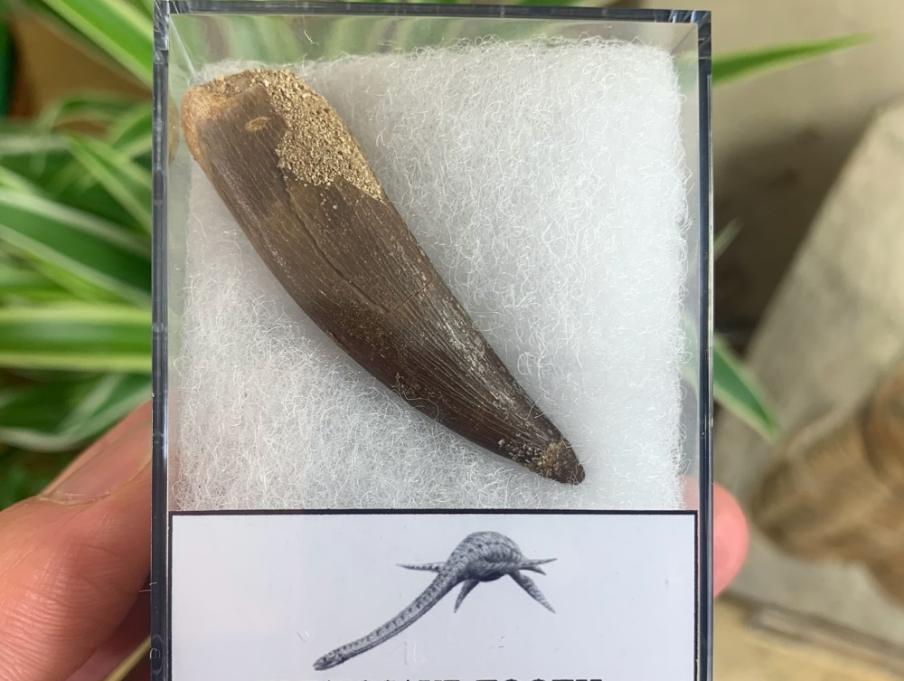 Plesiosaur Tooth (2.06 inch) #03