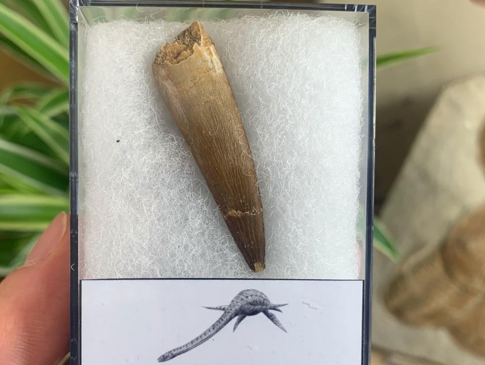 Plesiosaur Tooth (1.75 inch) #04