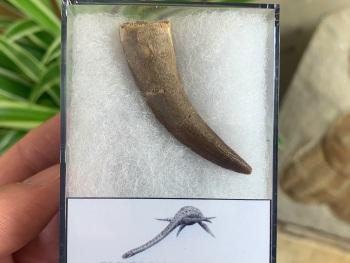 Plesiosaur Tooth (1.88 inch) #05