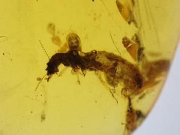 Dominican Amber Inclusion #04 (Termite)