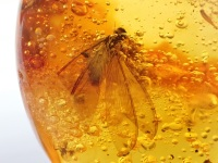 Dominican Amber Inclusion #06 (Termite)
